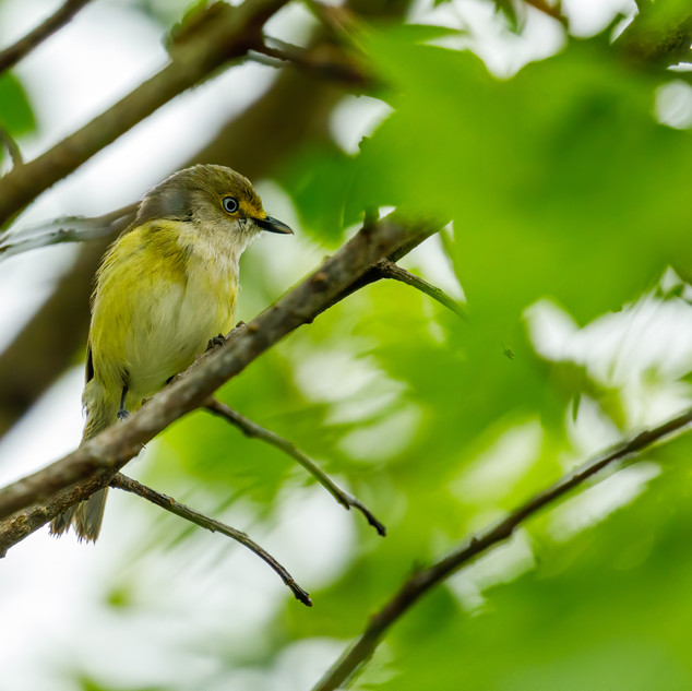 White-eyed Vireo profile