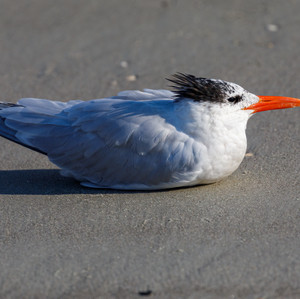 Sandwich Tern Resting
