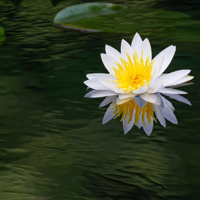 Water Lilly Refection