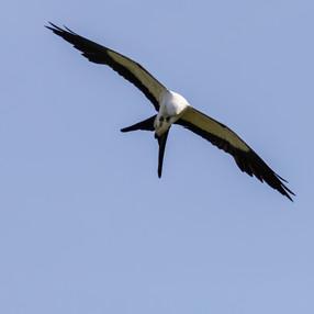 Swallow-tailed Kite eating bug