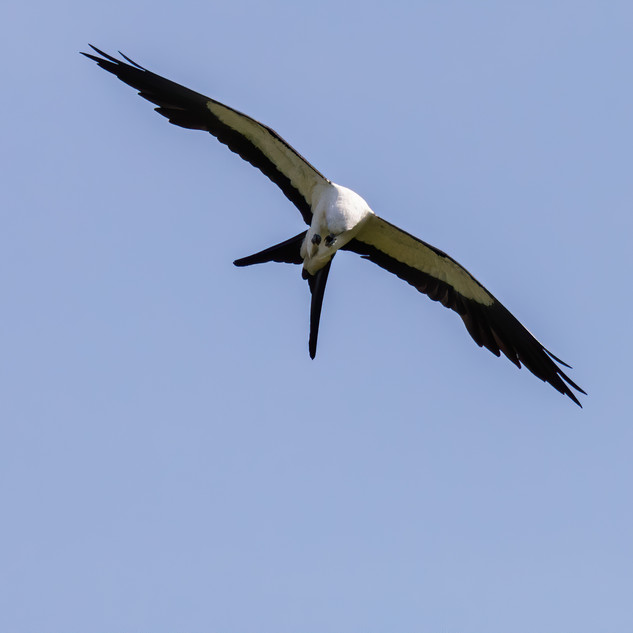 Swallow-tailed Kite eating bug