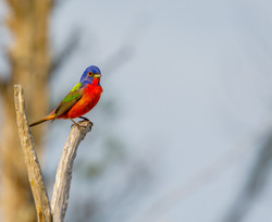 Painted Bunting in sun