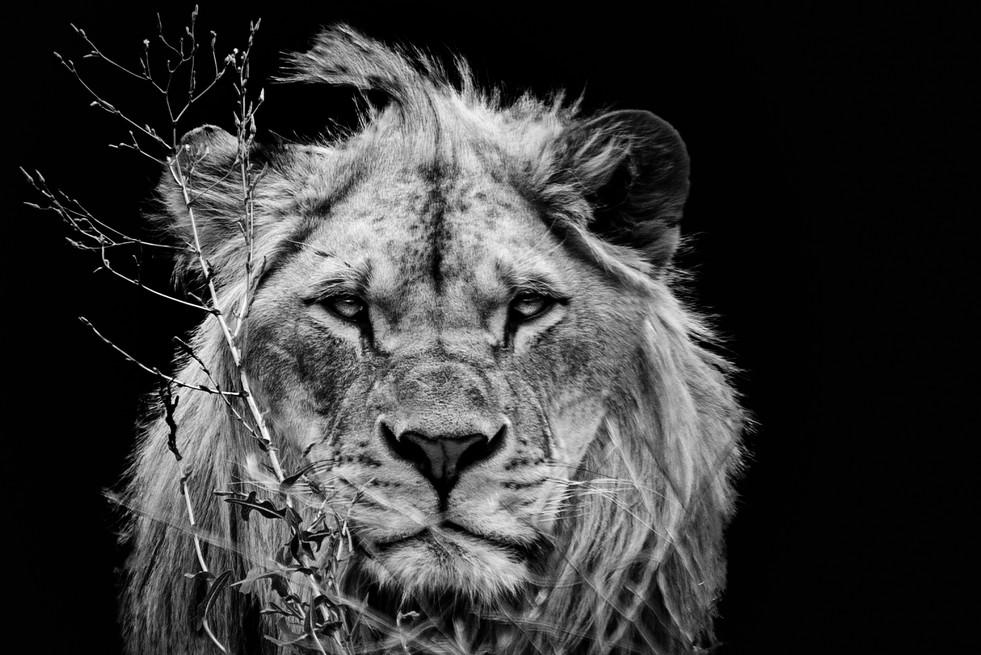 Lion NB  - 23 juillet 2017 (Copier).jpg