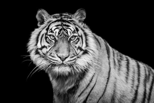 Tigre NB - 29 mai 2019 (Copier).jpg