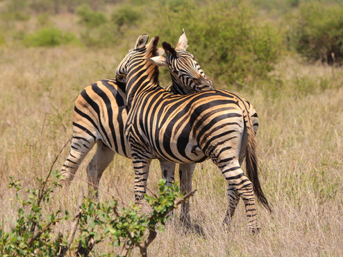 zuid afrika zebra liefde.jpg