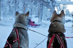 finland huskies.jpg