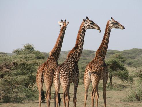 tanzania giraffe-1330814_1920.jpg
