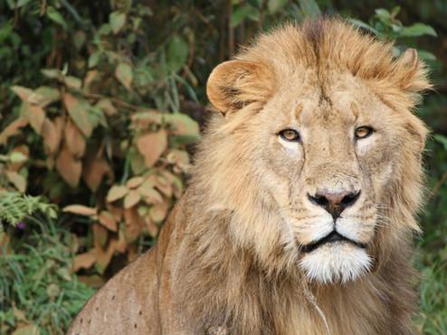 tanzania lion-174870_1920.jpg