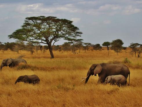 tanzania elephants-277329_1920.jpg