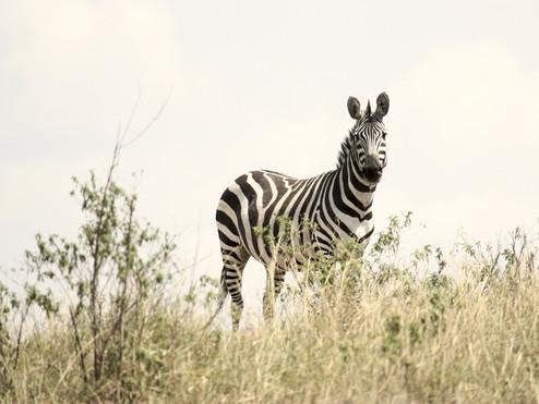 tanzania zebra-171209_1920.jpg
