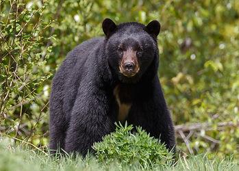 Black Bear Energy Program