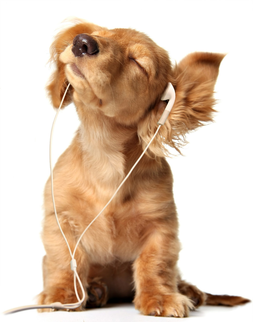 Photo of a dog listening to earbuds