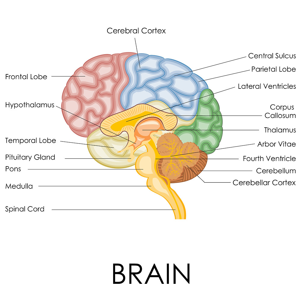 Diagram of the brain, showing structures like the thalamus and frontal lobe