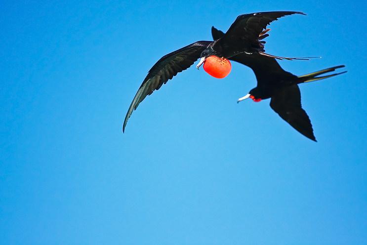 Frigatte Birds