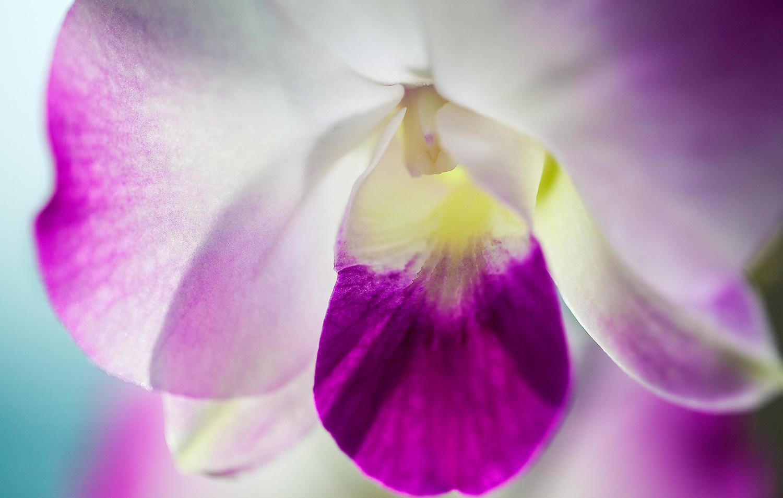 Transclucent ~ Orchid