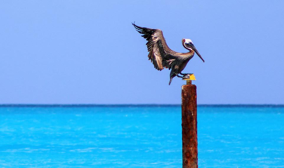 Turks & Caicos Pelican