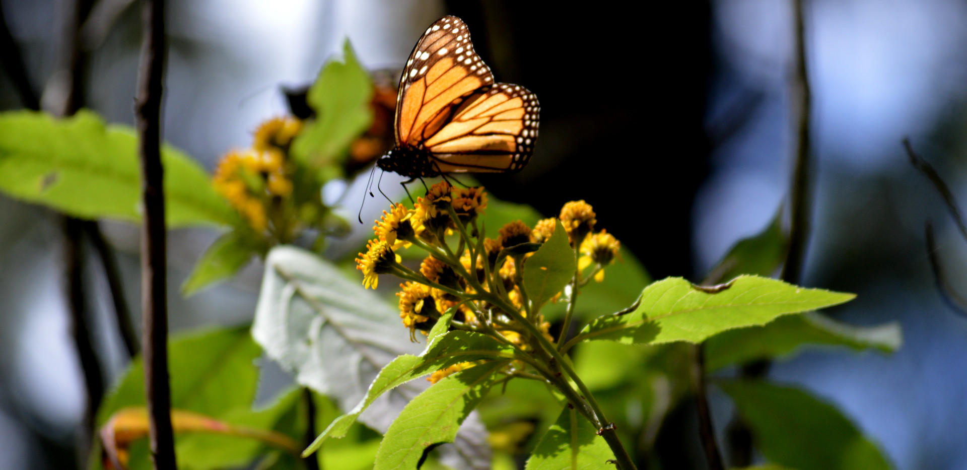 Monarch Butterflies - Sierra Chincua - M