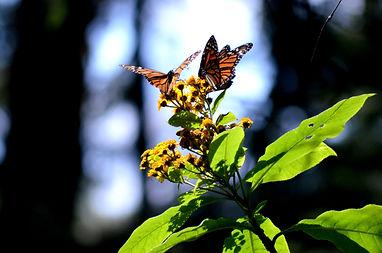 Monarch Butterflies - Sierra Chincua - M