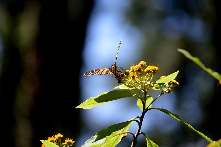 Monarch Butterflies - Sierra Chincua - Michoacan - Mexico (25).JPG