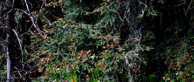 Sierra Chincua Monarch Butterfly Reserve