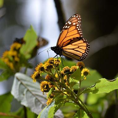 Monarch%20Butterflies%20-%20Sierra%20Chi