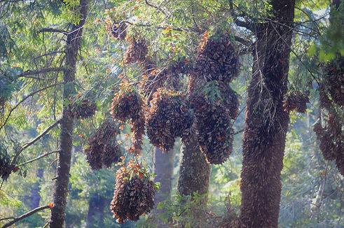 El Rosario - Monarch Butterfly Cluster
