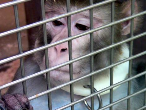 Das Schicksal der MPI Affen
