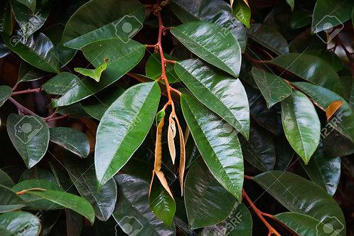 Caimito Golden Leaf Tea