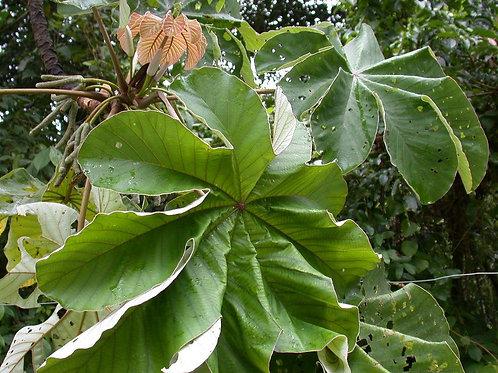 Yagrumo Leaf