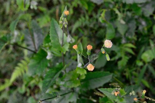 Amoudimoudi Leaf