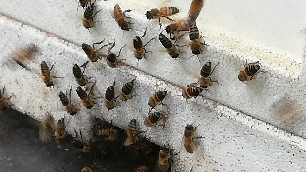 Buckfast bijenvolk (2020) op MINI PLUS kast  !!! UITVERKOCHT !!!