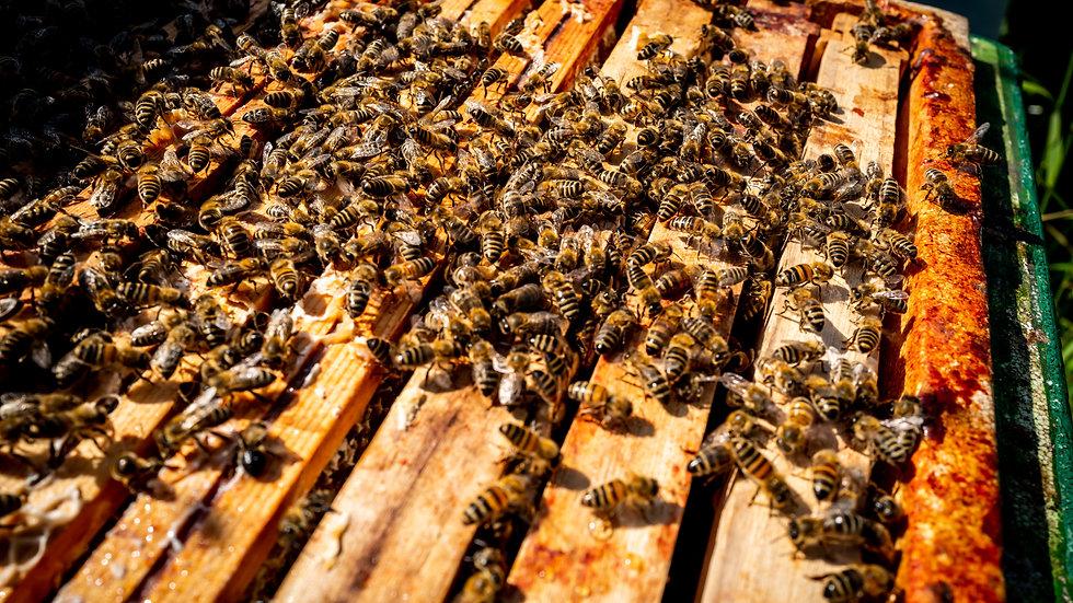 Buckfast bijenvolk (2021) op LEGA Dadant Blatt kast