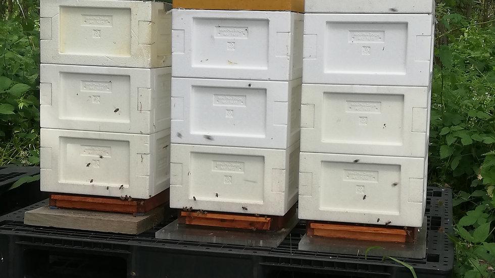 Overwinterd Buckfast bijenvolk  (2019) op MINI PLUS kast   !!!UITVERKOCHT !!!