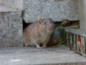Watchful brown rat (Rattus norvegicus).j