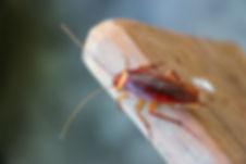 Cockroach on wooden .jpg