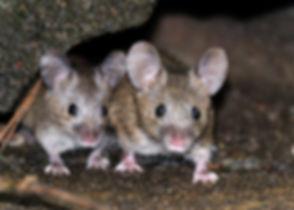 Mice feeding in urban house garden..jpg