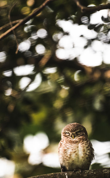 The sleepy Owlet.jpg