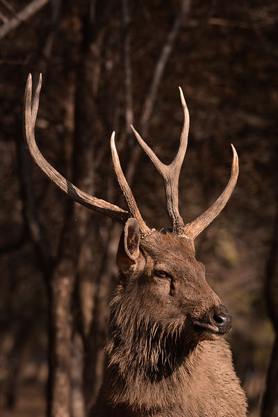 Sambhar stag with unusually long brow ti