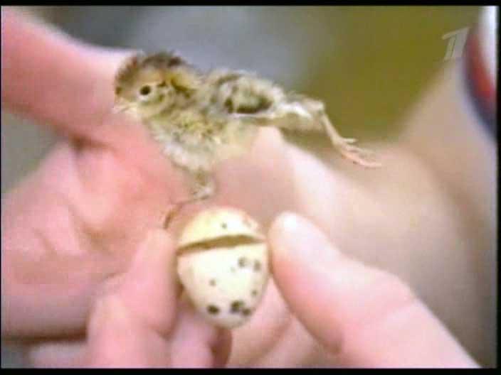 Soyuz TM-9's quail chick