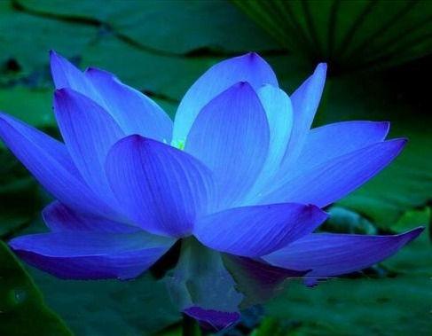 BLUE%20LOTUS_edited.jpg