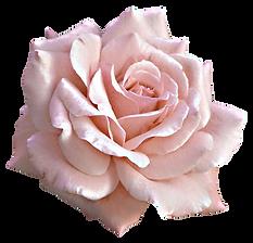 Breaking silence rose.png