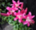 Lilies Carols tubs.jpg