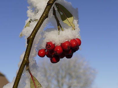 Snow and red berries.jpg
