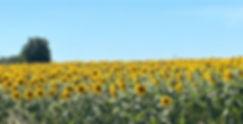 Sunflower field in France. Challignac.jp