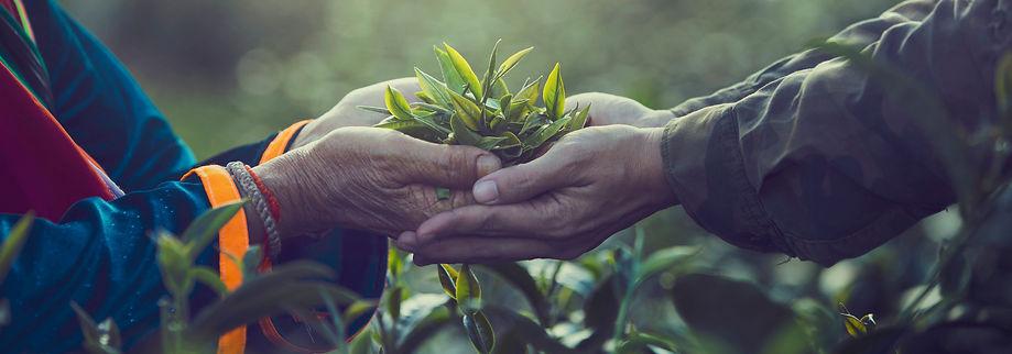 Women Hand finger picking up tea leaves