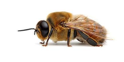 erkek arı.jpg