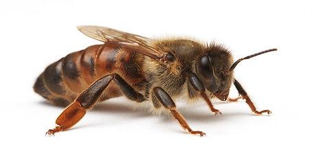 kraliçe arı.jpg
