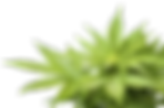 cannabis_PNG30.png