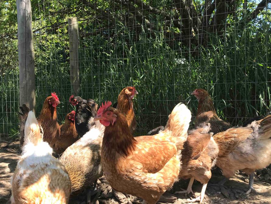 Chickens900.jpg