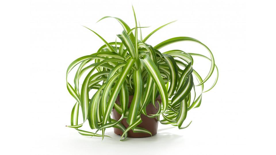 Planta araña (Chlorophytum comosum)